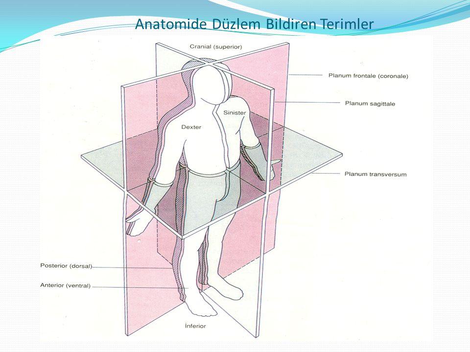 Anatomide Düzlem Bildiren Terimler