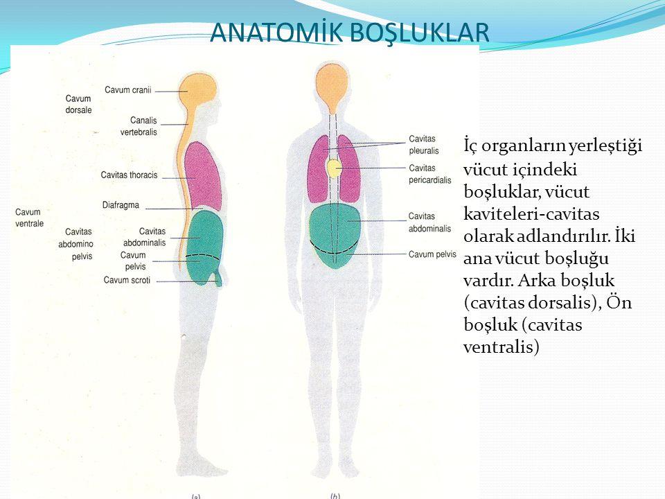ANATOMİK BOŞLUKLAR İç organların yerleştiği vücut içindeki boşluklar, vücut kaviteleri-cavitas olarak adlandırılır. İki ana vücut boşluğu vardır. Arka