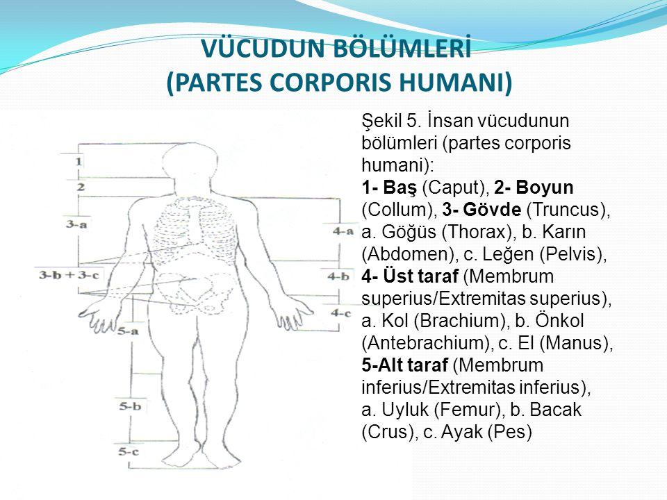 VÜCUDUN BÖLÜMLERİ (PARTES CORPORIS HUMANI) Şekil 5. İnsan vücudunun bölümleri (partes corporis humani): 1- Baş (Caput), 2- Boyun (Collum), 3- Gövde (T