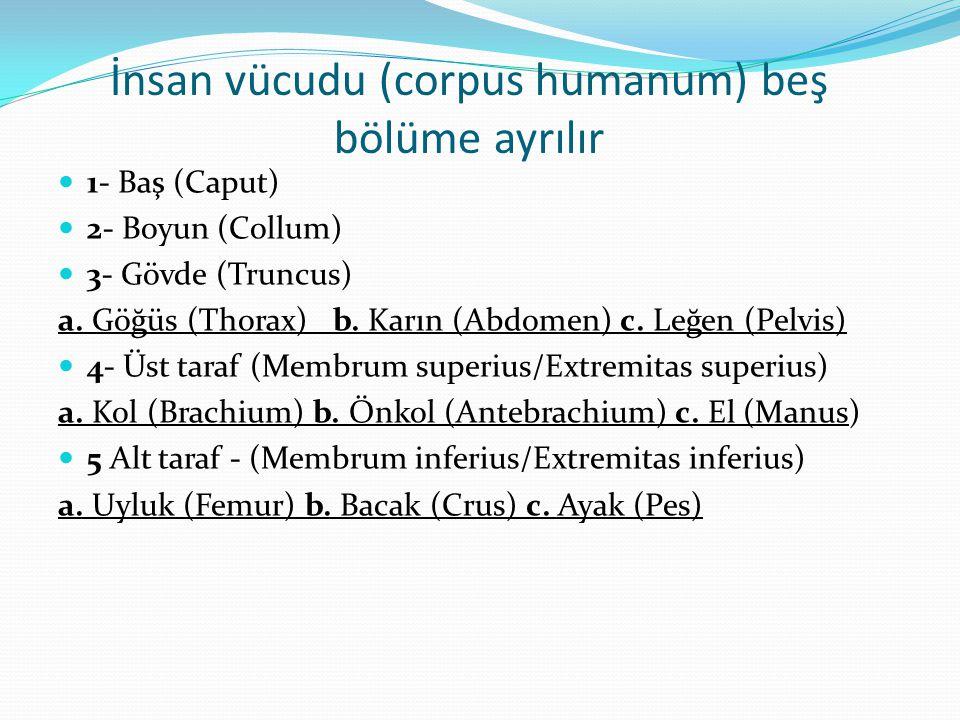 İnsan vücudu (corpus humanum) beş bölüme ayrılır 1- Baş (Caput) 2- Boyun (Collum) 3- Gövde (Truncus) a. Göğüs (Thorax) b. Karın (Abdomen) c. Leğen (Pe