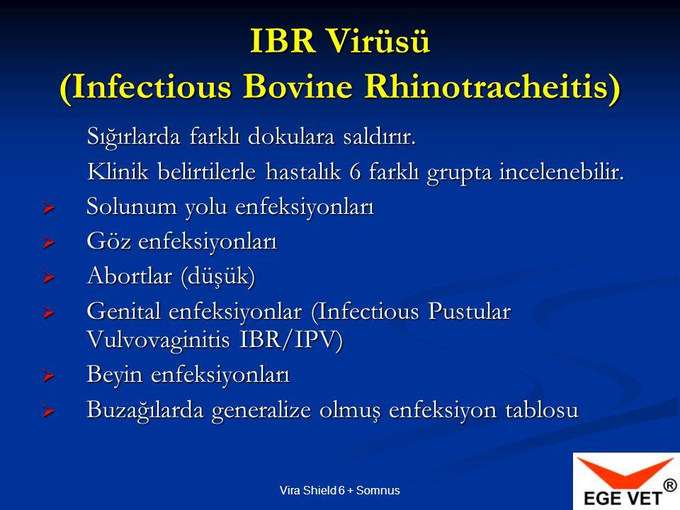Vira Shield 6 + Somnus BVD (Bovine Viral Diarrhea)  BVD virüsünün saldırdığı hücrede yaptığı tahribata göre genetik yapısı vardır  Hücre elemanlarını tahrip edene sitopatik/CP , etmeyene ise nonsitopatik/NCP denir  Nonsitopatik BVD tipleri sığırlarda daha çok görülür  Nonsitopatik BVD tipleri kalıcı enfeksiyonlara yol açar Persistent Infections/PI