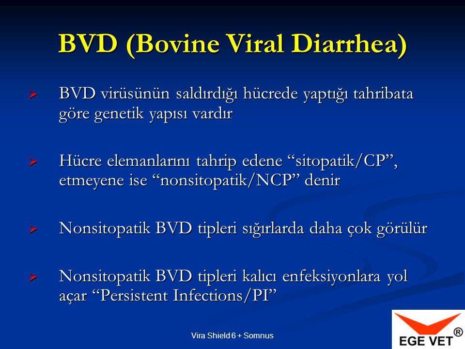 Vira Shield 6 + Somnus Sığırlarda Non sitopatik Tip BVD virüsları daha yaygındır Sığırlarda Non sitopatik Tip BVD virüsları daha yaygındır Sığırlarda hem Sitopatik hem de Non sitopatik BVD virüs tipleri hastalık yapar Sığırlarda hem Sitopatik hem de Non sitopatik BVD virüs tipleri hastalık yapar Ancak NCP Tipler kalıcı enfeksiyona (PI) yol açar Ancak NCP Tipler kalıcı enfeksiyona (PI) yol açar PI olanlar virüsü doğdukları andan itibaren sessizce/belirtisiz taşıyarak korumasız sığırlara bulaştırırlar PI olanlar virüsü doğdukları andan itibaren sessizce/belirtisiz taşıyarak korumasız sığırlara bulaştırırlar