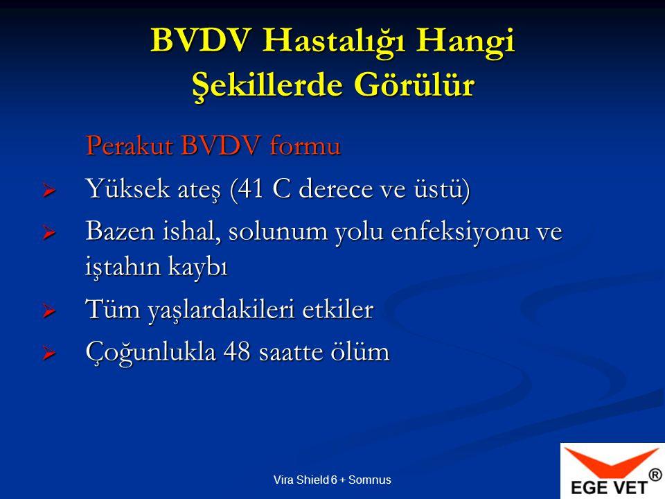 Vira Shield 6 + Somnus BVDV Hastalığı Hangi Şekillerde Görülür Perakut BVDV formu Perakut BVDV formu  Yüksek ateş (41 C derece ve üstü)  Bazen ishal, solunum yolu enfeksiyonu ve iştahın kaybı  Tüm yaşlardakileri etkiler  Çoğunlukla 48 saatte ölüm