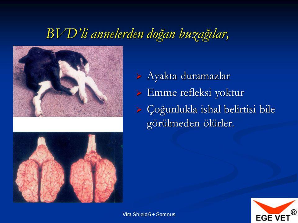 Vira Shield 6 + Somnus BVD'li annelerden doğan buzağılar,  Ayakta duramazlar  Emme refleksi yoktur  Çoğunlukla ishal belirtisi bile görülmeden ölürler.