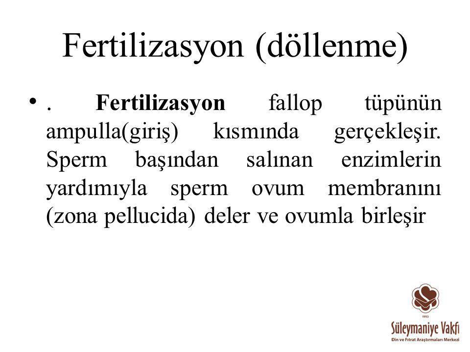 Fertilizasyon (döllenme). Fertilizasyon fallop tüpünün ampulla(giriş) kısmında gerçekleşir. Sperm başından salınan enzimlerin yardımıyla sperm ovum me