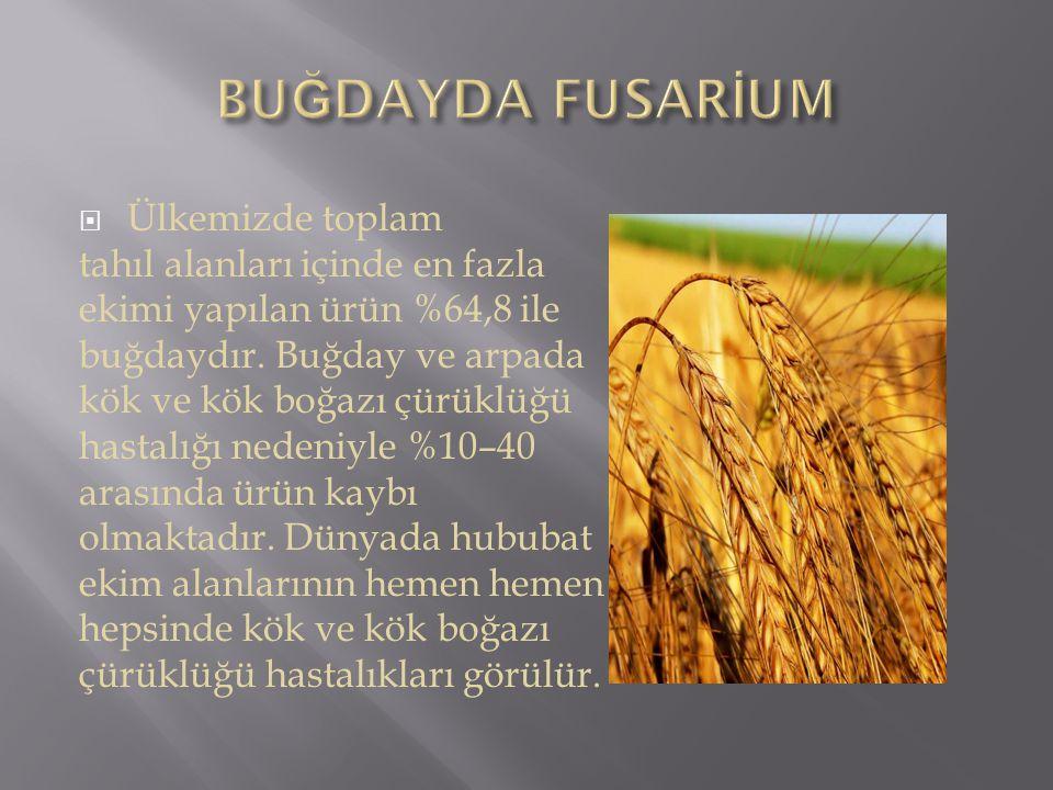  Ülkemizde toplam tahıl alanları içinde en fazla ekimi yapılan ürün %64,8 ile buğdaydır. Buğday ve arpada kök ve kök boğazı çürüklüğü hastalığı neden