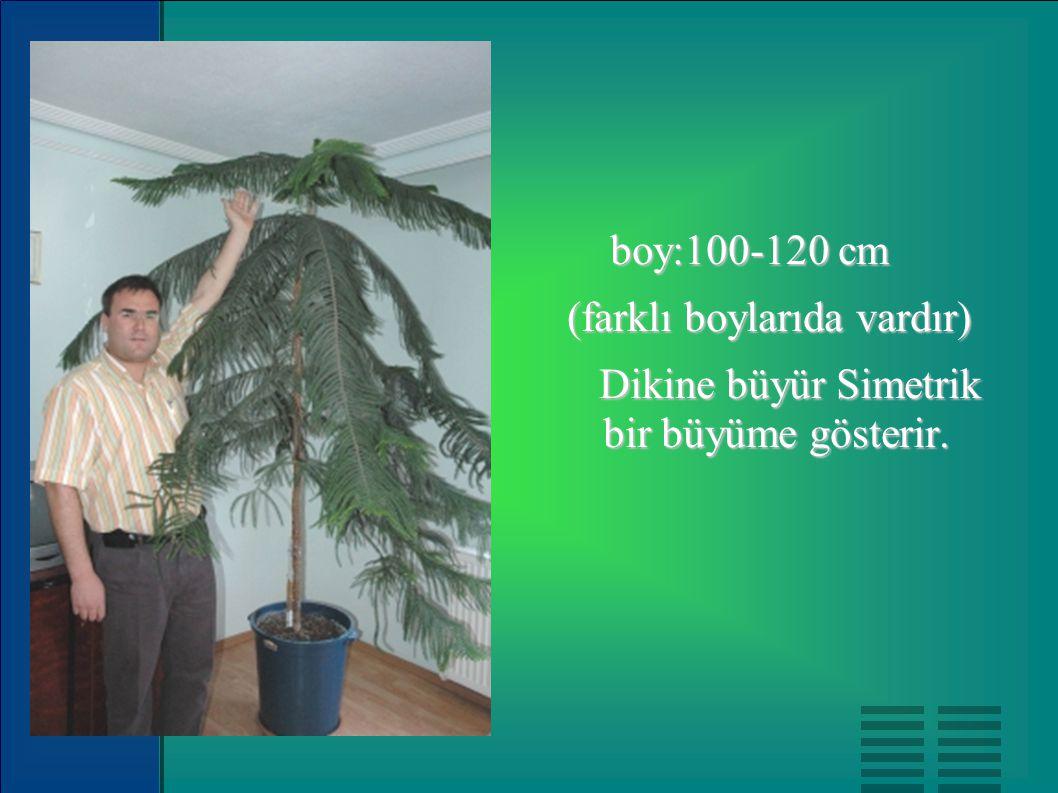 boy:100-120 cm boy:100-120 cm (farklı boylarıda vardır) Dikine büyür Simetrik bir büyüme gösterir. Dikine büyür Simetrik bir büyüme gösterir.
