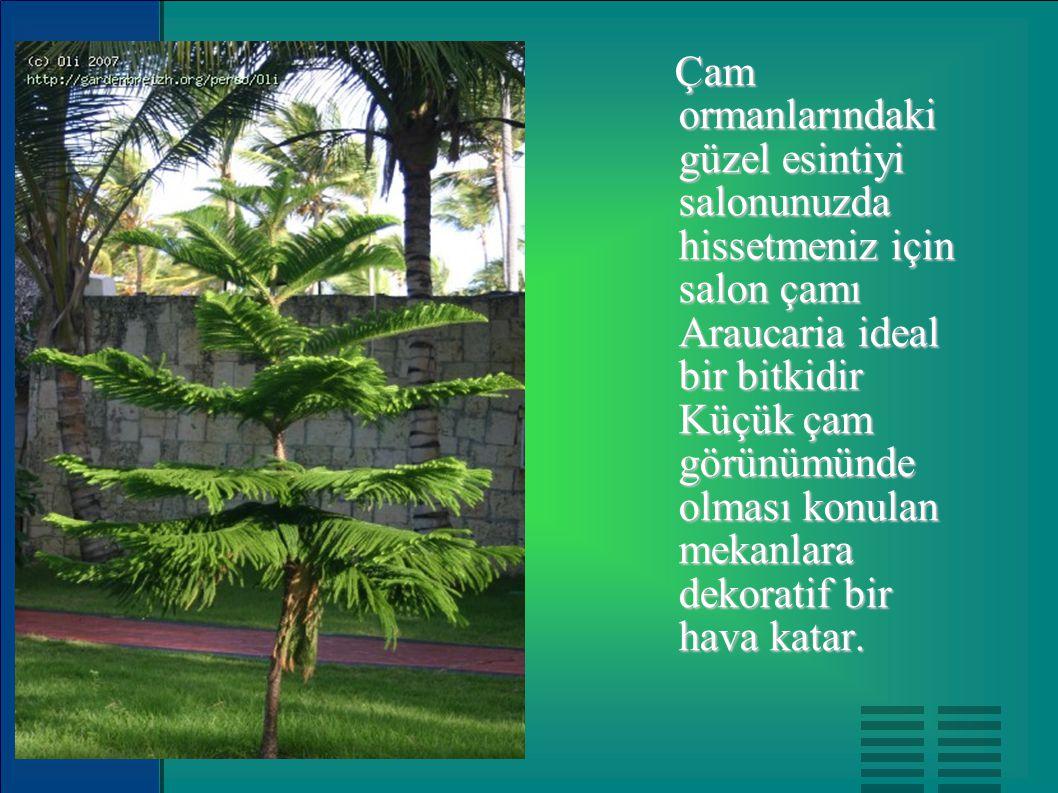 Çam ormanlarındaki güzel esintiyi salonunuzda hissetmeniz için salon çamı Araucaria ideal bir bitkidir Küçük çam görünümünde olması konulan mekanlara
