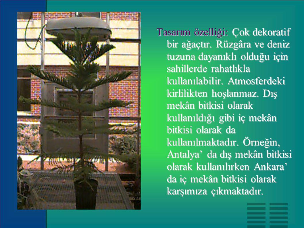 Tasarım özelliği: Çok dekoratif bir ağaçtır. Rüzgâra ve deniz tuzuna dayanıklı olduğu için sahillerde rahatlıkla kullanılabilir. Atmosferdeki kirlilik