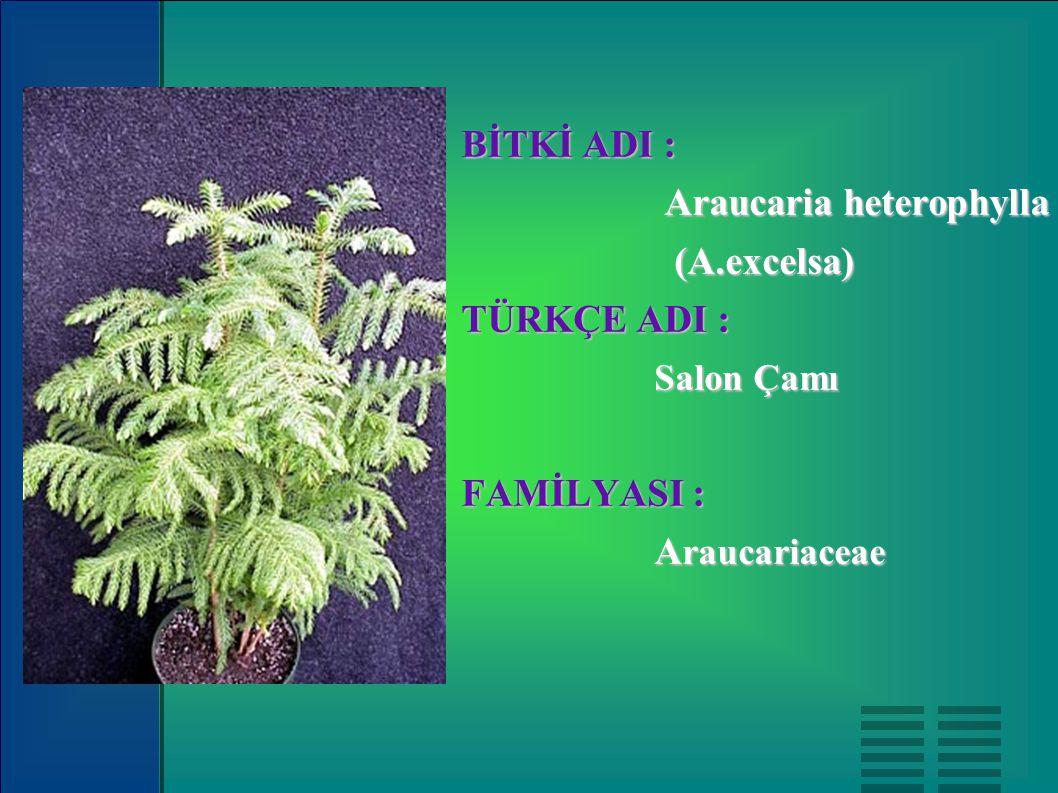 BİTKİ ADI : Araucaria heterophylla Araucaria heterophylla (A.excelsa) (A.excelsa) TÜRKÇE ADI : Salon Çamı Salon Çamı FAMİLYASI : A raucariaceae A rauc