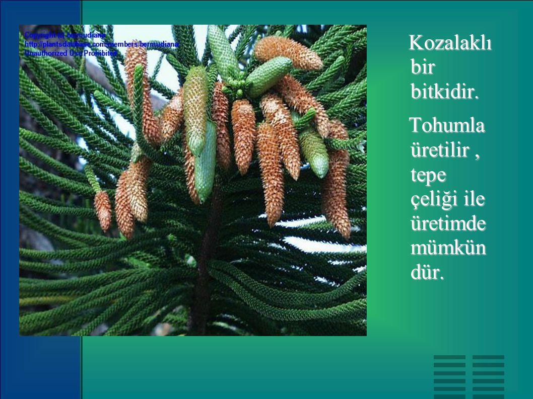 Kozalaklı bir bitkidir. Kozalaklı bir bitkidir. Tohumla üretilir, tepe çeliği ile üretimde mümkün dür. Tohumla üretilir, tepe çeliği ile üretimde mümk