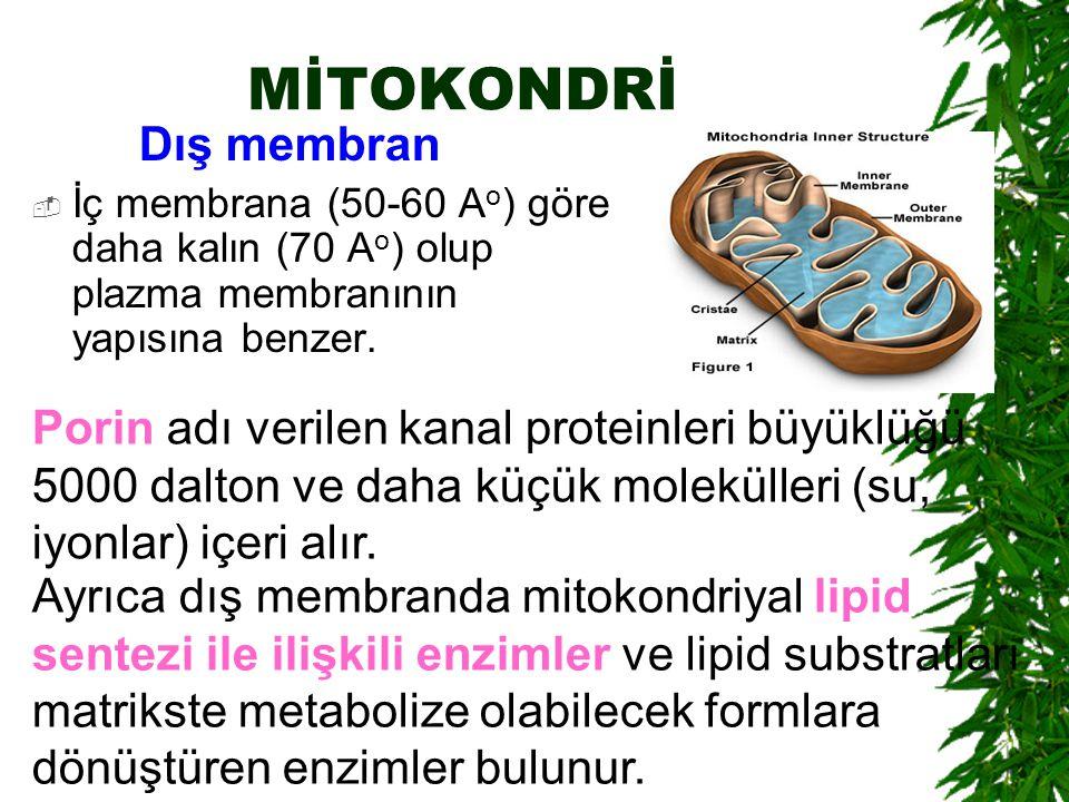 MİTOKONDRİ Dış membran  İç membrana (50-60 A o ) göre daha kalın (70 A o ) olup plazma membranının yapısına benzer. Porin adı verilen kanal proteinle