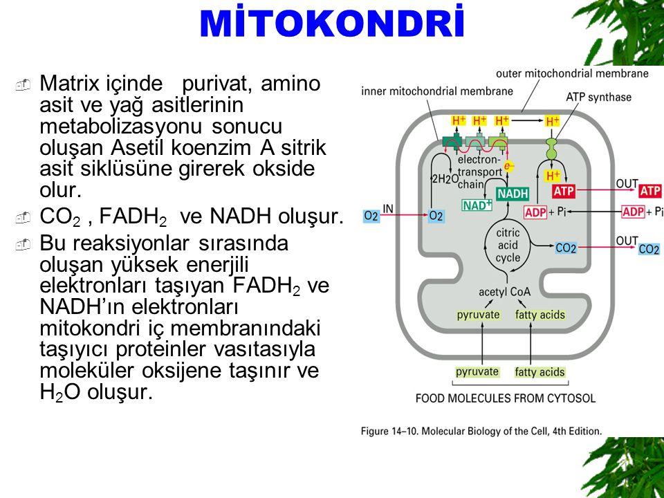 MİTOKONDRİ  Matrix içinde purivat, amino asit ve yağ asitlerinin metabolizasyonu sonucu oluşan Asetil koenzim A sitrik asit siklüsüne girerek okside