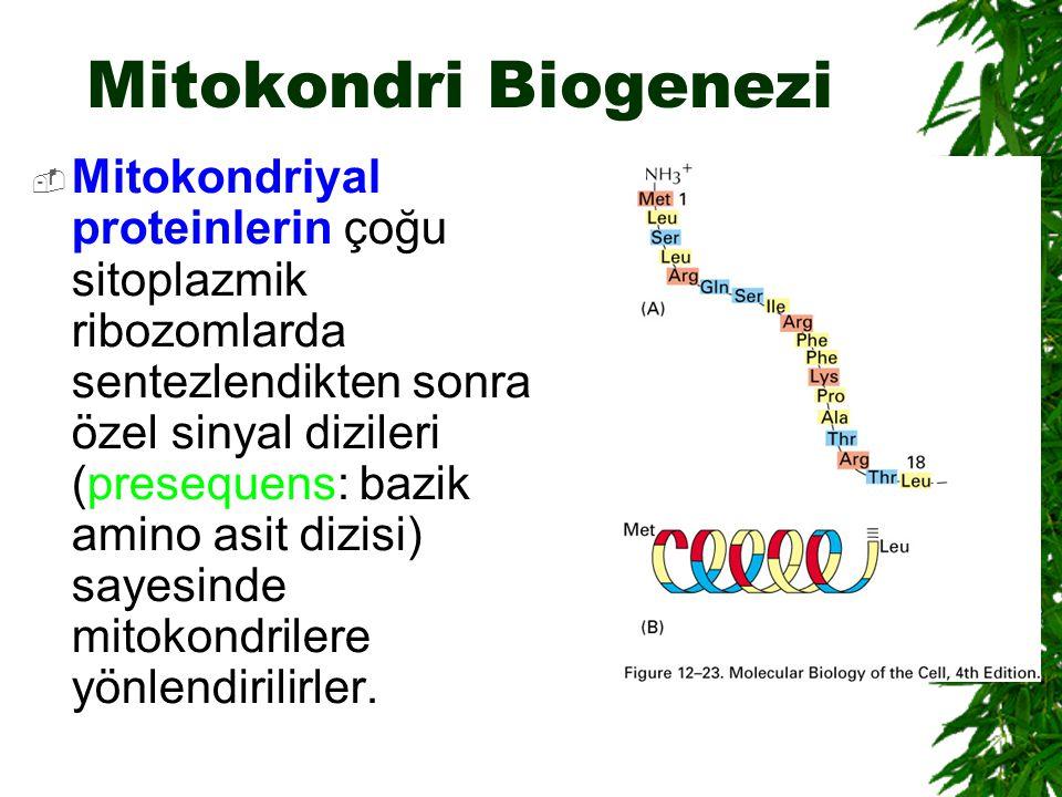 Mitokondri Biogenezi  Mitokondriyal proteinlerin çoğu sitoplazmik ribozomlarda sentezlendikten sonra özel sinyal dizileri (presequens: bazik amino as