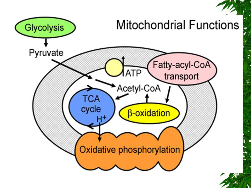 MİTOKONDRİ  Matrix içinde purivat, amino asit ve yağ asitlerinin metabolizasyonu sonucu oluşan Asetil koenzim A sitrik asit siklüsüne girerek okside olur.