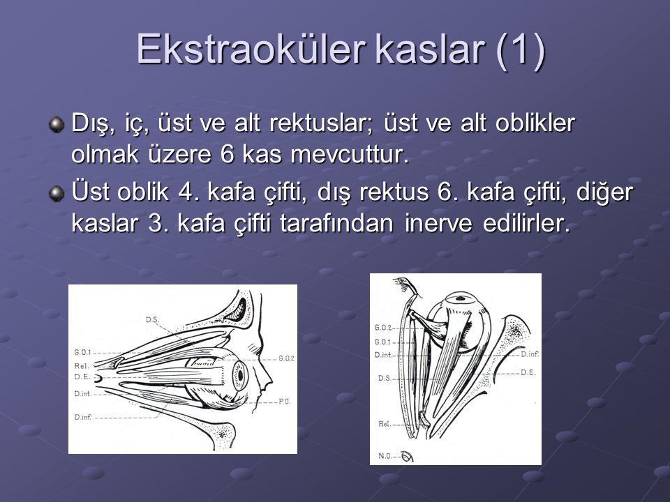 Ekstraoküler kaslar (1) Dış, iç, üst ve alt rektuslar; üst ve alt oblikler olmak üzere 6 kas mevcuttur.