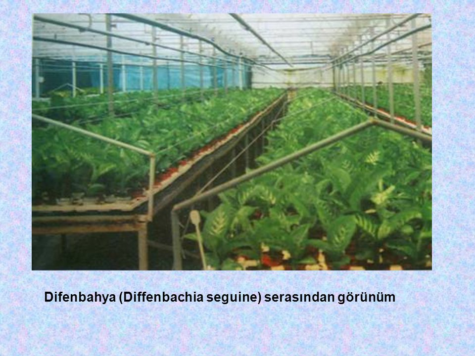 Difenbahya (Diffenbachia seguine) serasından görünüm