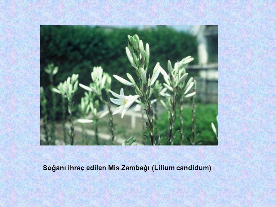 Soğanı ihraç edilen Mis Zambağı (Lilium candidum)