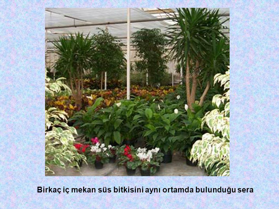 Daldırma ile Üretim Bu vegetatif üretim yöntemi, ana bitkiye bağlı bir şekilde gövdenin veya sürgünün köklendirilmeye alınmasıdır.