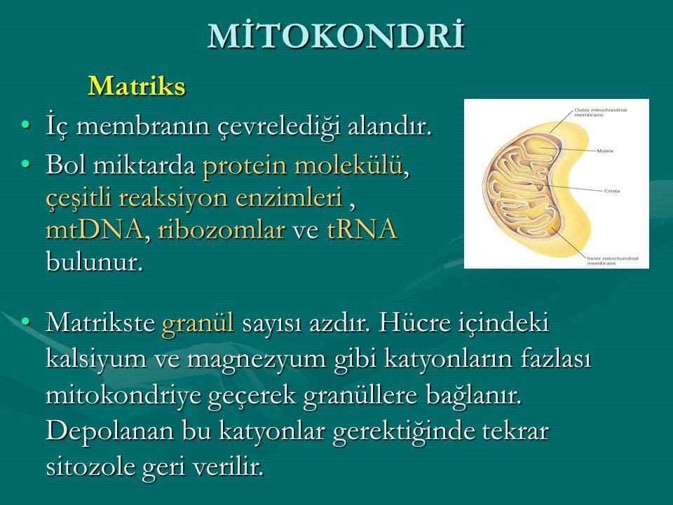Mitokondriyal Genom Mitokondriyal DNA'nın tamir mekanizması zayıftır ve bu yüzden mutasyon oranı nükleer genomdan yaklaşık 10 kat yüksektir.Mitokondriyal DNA'nın tamir mekanizması zayıftır ve bu yüzden mutasyon oranı nükleer genomdan yaklaşık 10 kat yüksektir.