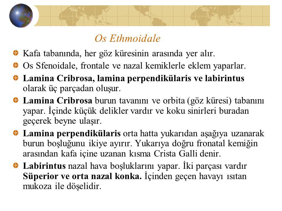 Os Ethmoidale Kafa tabanında, her göz küresinin arasında yer alır. Os Sfenoidale, frontale ve nazal kemiklerle eklem yaparlar. Lamina Cribrosa, lamina