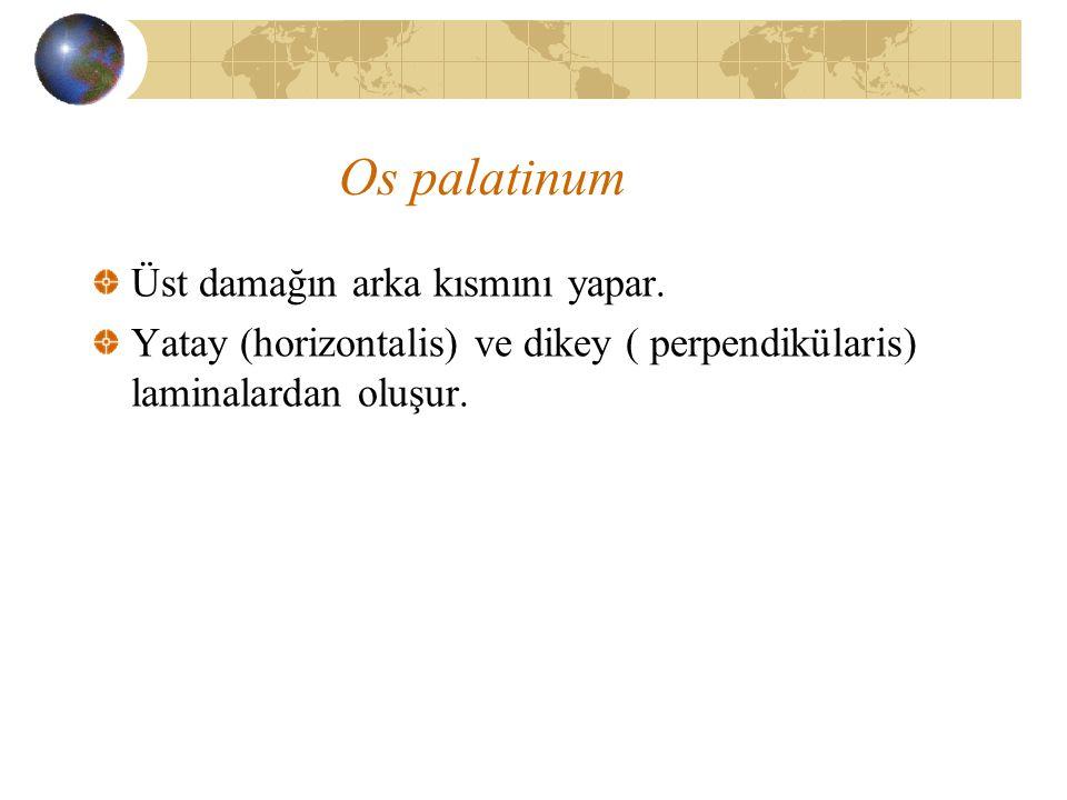 Os palatinum Üst damağın arka kısmını yapar. Yatay (horizontalis) ve dikey ( perpendikülaris) laminalardan oluşur.