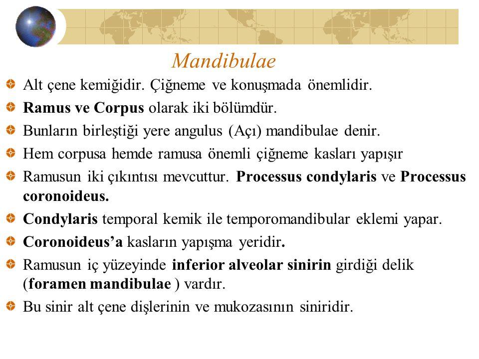 Mandibulae Alt çene kemiğidir. Çiğneme ve konuşmada önemlidir. Ramus ve Corpus olarak iki bölümdür. Bunların birleştiği yere angulus (Açı) mandibulae