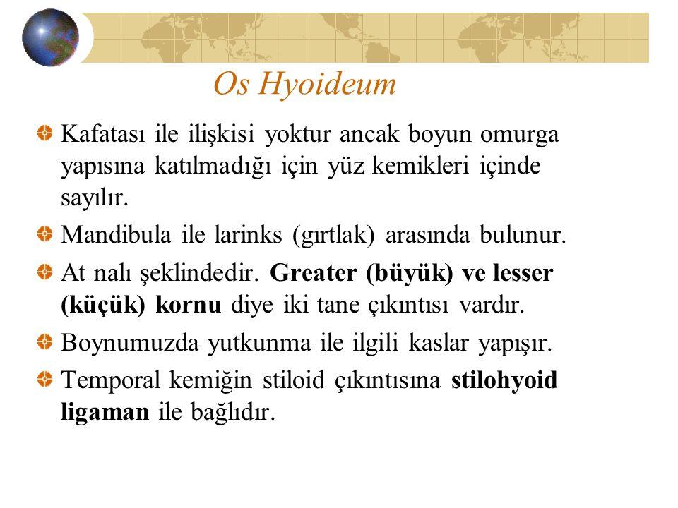 Os Hyoideum Kafatası ile ilişkisi yoktur ancak boyun omurga yapısına katılmadığı için yüz kemikleri içinde sayılır. Mandibula ile larinks (gırtlak) ar