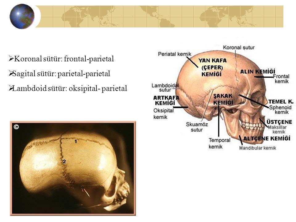  Koronal sütür: frontal-parietal  Sagital sütür: parietal-parietal  Lambdoid sütür: oksipital- parietal