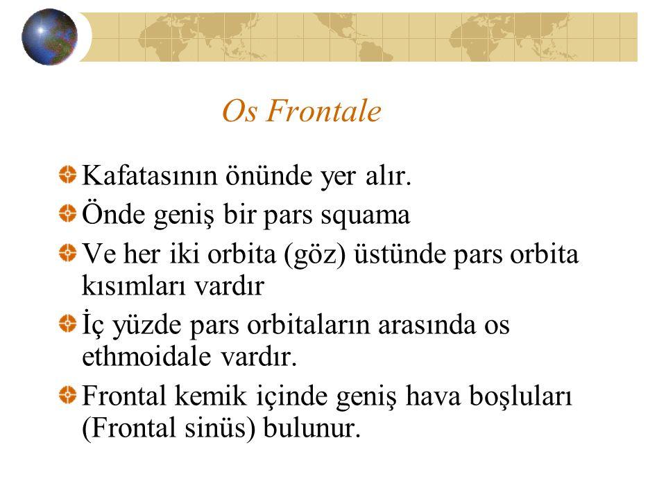 Os Frontale Kafatasının önünde yer alır. Önde geniş bir pars squama Ve her iki orbita (göz) üstünde pars orbita kısımları vardır İç yüzde pars orbital