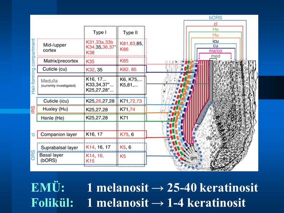 EMÜ: 1 melanosit → 25-40 keratinosit Folikül: 1 melanosit → 1-4 keratinosit