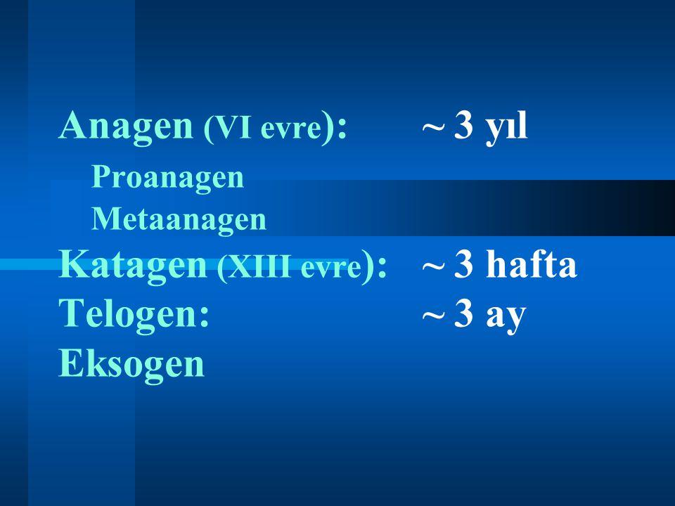 Anagen (VI evre ):~ 3 yıl Proanagen Metaanagen Katagen (XIII evre ):~ 3 hafta Telogen:~ 3 ay Eksogen