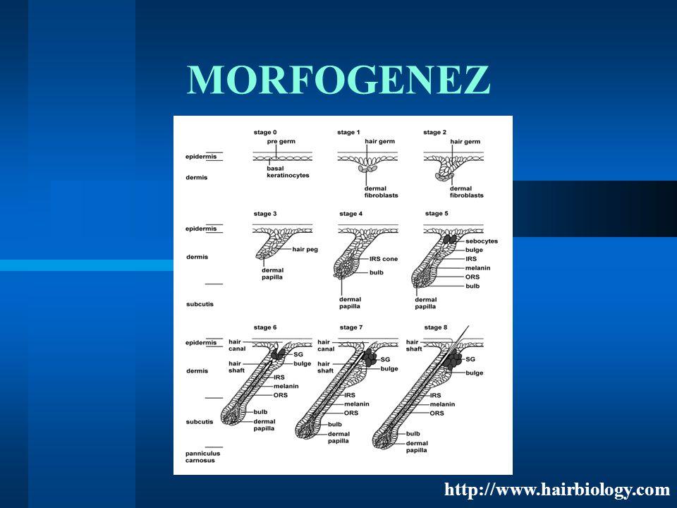 MORFOGENEZ http://www.hairbiology.com