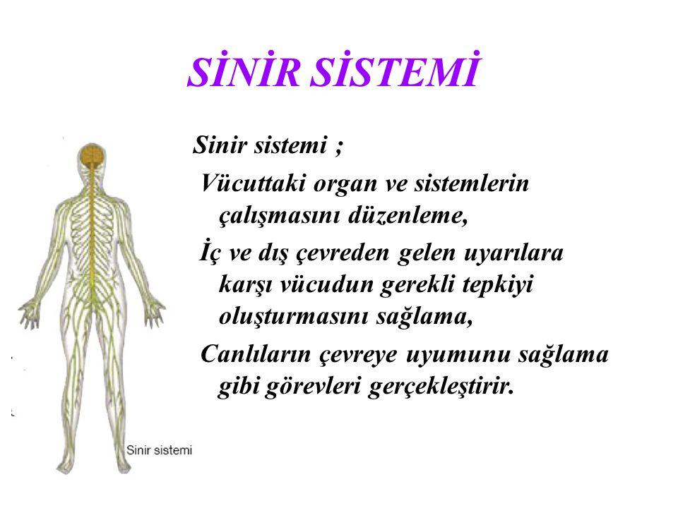 SİNİR SİSTEMİ Sinir sistemi ; Vücuttaki organ ve sistemlerin çalışmasını düzenleme, İç ve dış çevreden gelen uyarılara karşı vücudun gerekli tepkiyi o