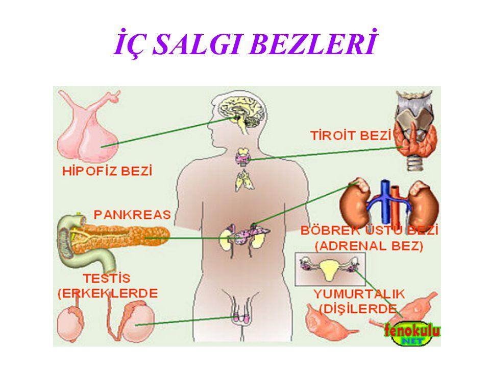 SALGI BEZLERİ HİPOFİZ BEZİ - Büyümeyi,gelişmeyi ve cinsel hormonların oluşmasını sağlar.