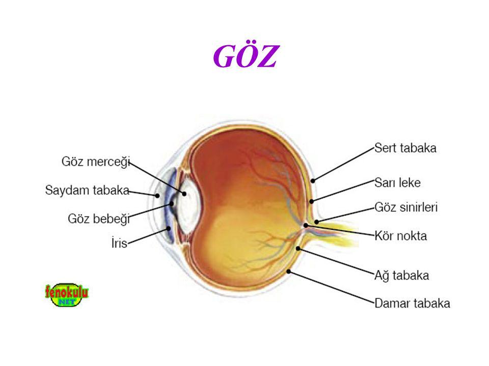 GÖZÜN KISIMLARI a) Sert Tabaka: Gözün dışında bulunan beyaz renkli kısımdır ve gözü dış etkilerden korur.