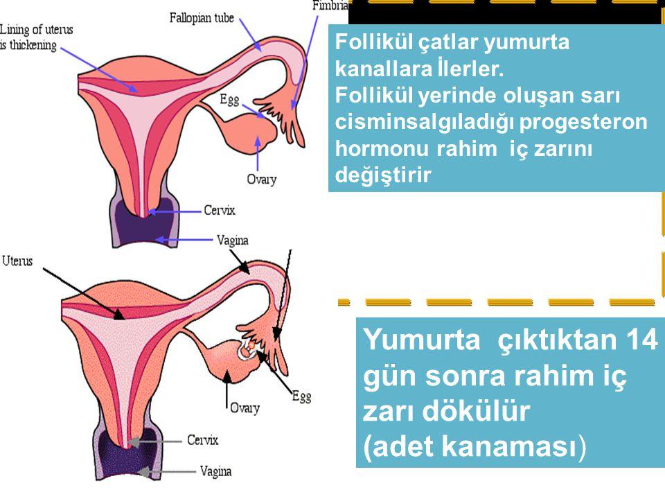 Follikül çatlar yumurta kanallara İlerler. Follikül yerinde oluşan sarı cisminsalgıladığı progesteron hormonu rahim iç zarını değiştirir Yumurta çıktı