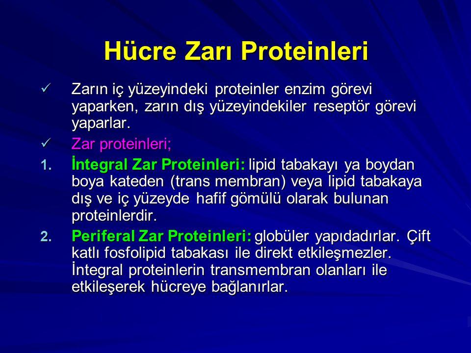 Hücre Zarı Proteinleri Zarın iç yüzeyindeki proteinler enzim görevi yaparken, zarın dış yüzeyindekiler reseptör görevi yaparlar. Zarın iç yüzeyindeki