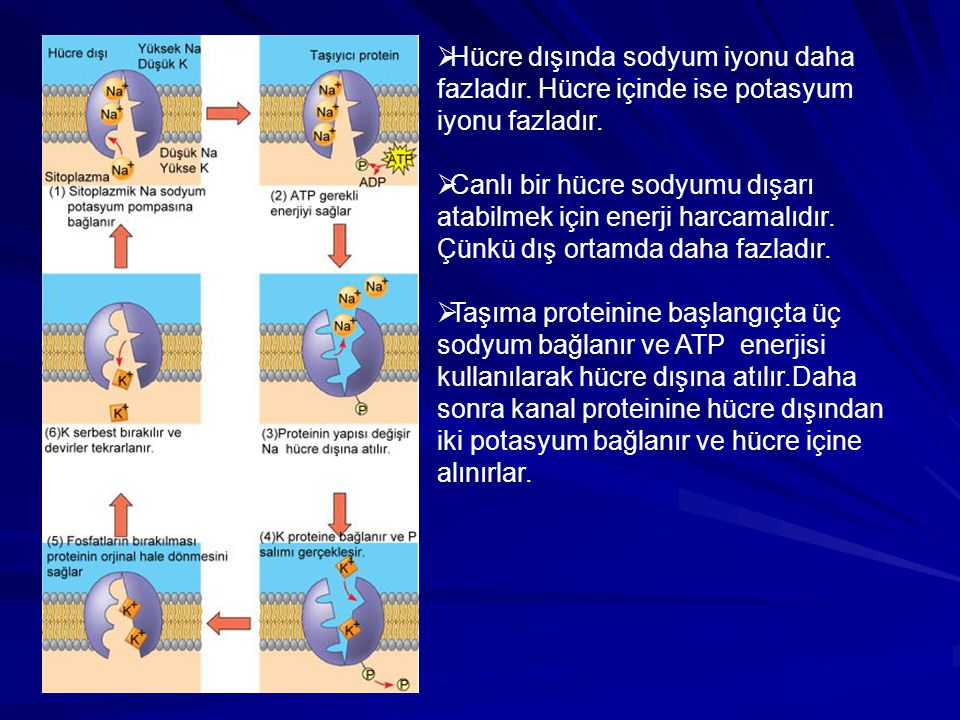  Hücre dışında sodyum iyonu daha fazladır. Hücre içinde ise potasyum iyonu fazladır.  Canlı bir hücre sodyumu dışarı atabilmek için enerji harcamalı