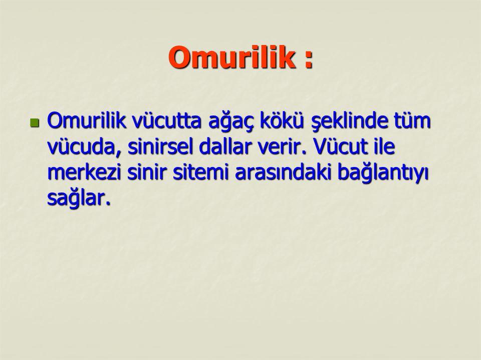 Omurilik : Omurilik : Özellikle beyinle bağlantısında bir farklılık görülür.