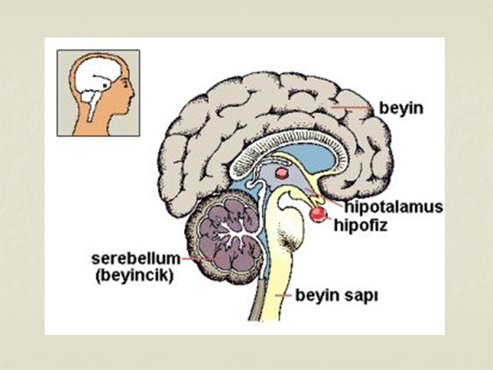 Hipofiz Bezi İç salgı bezlerinin patronu olup, salgıladığı hormonlarla diğer bezlerin çalışmasını kontrol eder.