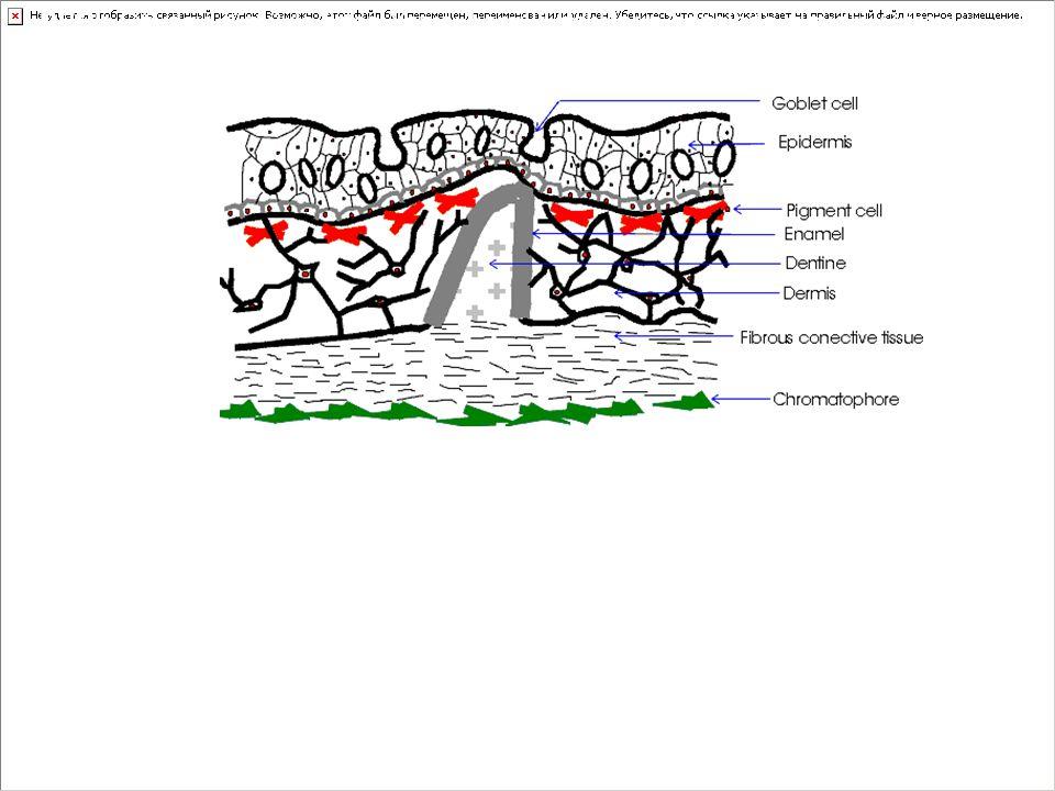 DERİ: Gövdeyi tümüyle örter.Yapısı kemikli balıkların hepsinde aynıdır.