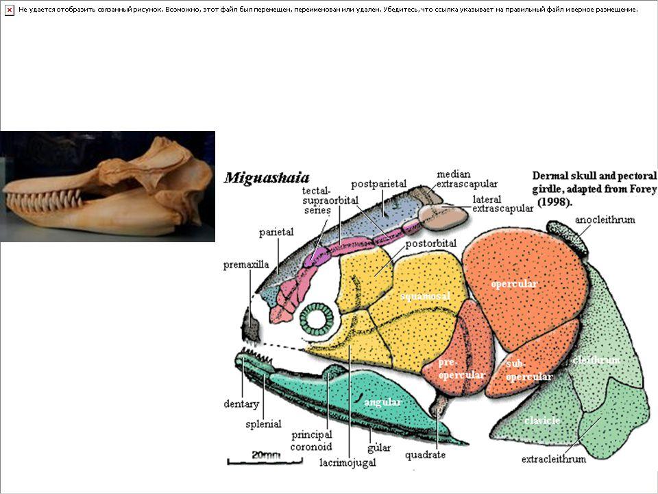 Gnathostomata: Çeneli balıklari