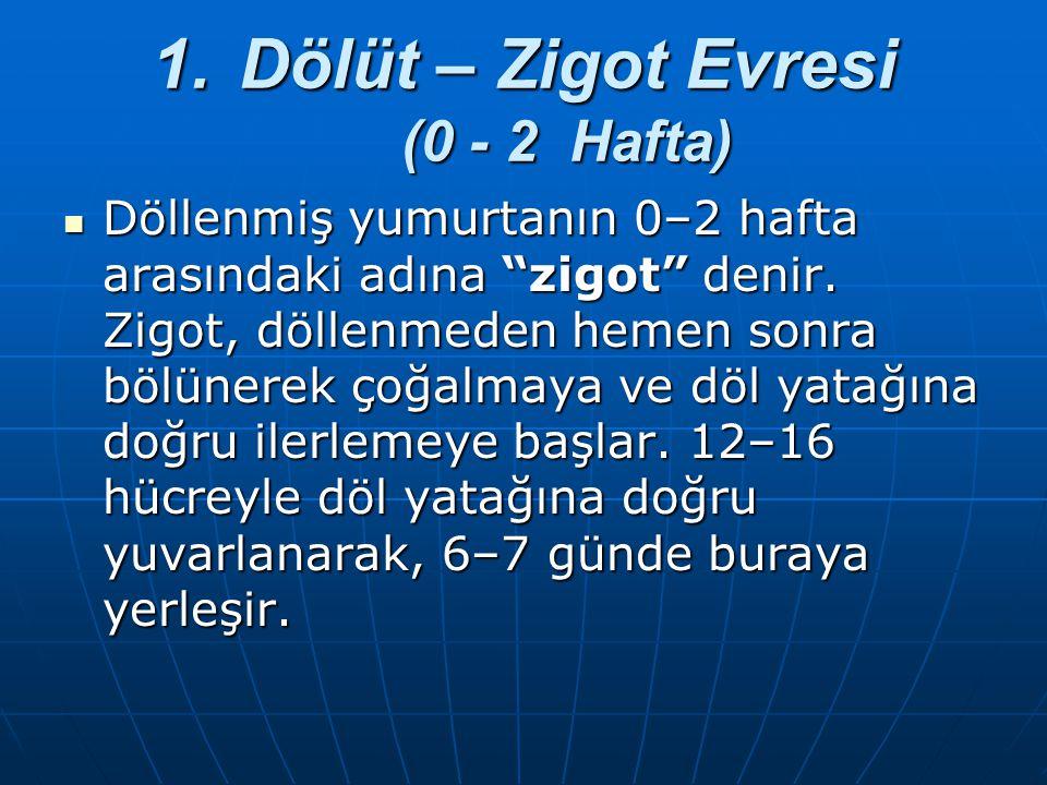 """1.Dölüt – Zigot Evresi (0 - 2 Hafta) Döllenmiş yumurtanın 0–2 hafta arasındaki adına """"zigot"""" denir. Zigot, döllenmeden hemen sonra bölünerek çoğalmaya"""