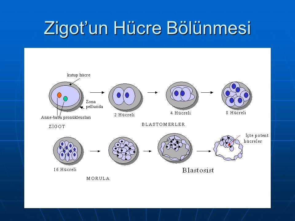Zigot'un Hücre Bölünmesi