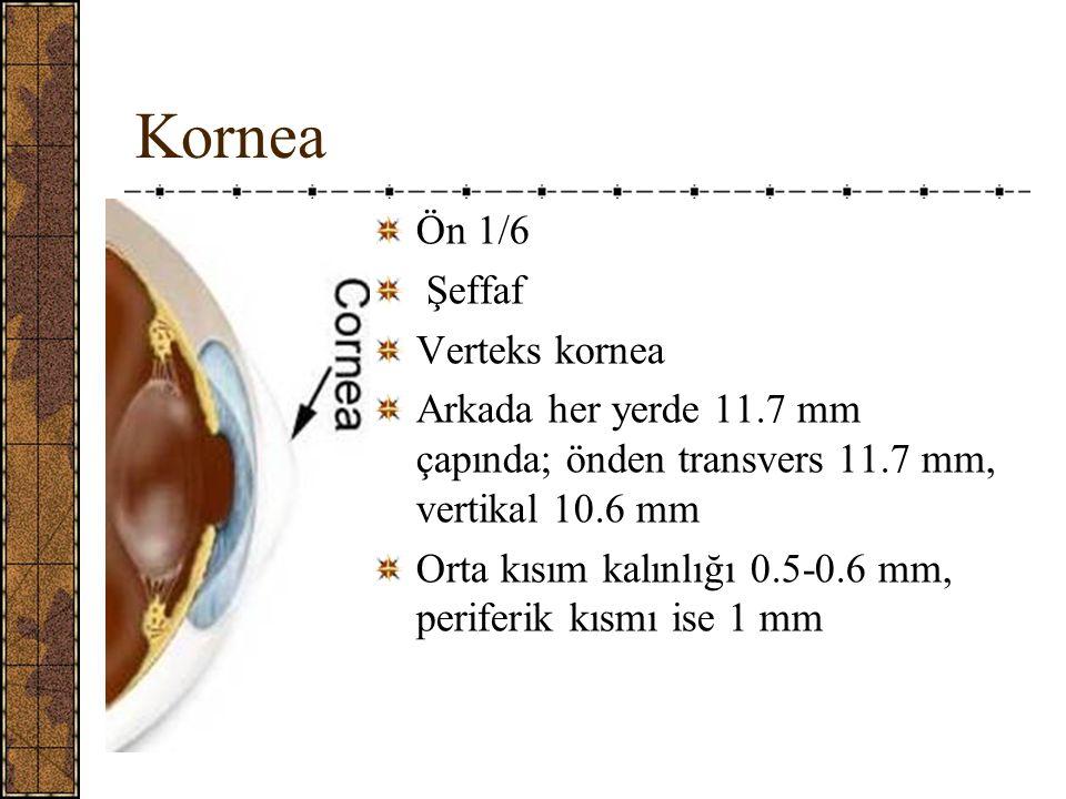 Kornea Ön 1/6 Şeffaf Verteks kornea Arkada her yerde 11.7 mm çapında; önden transvers 11.7 mm, vertikal 10.6 mm Orta kısım kalınlığı 0.5-0.6 mm, periferik kısmı ise 1 mm