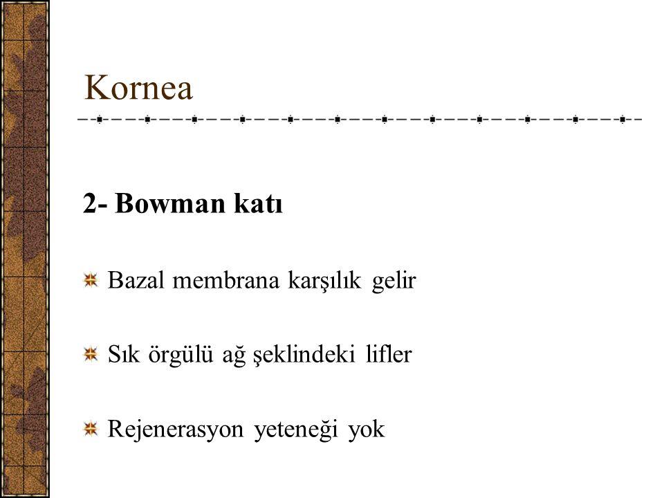 Kornea 2- Bowman katı Bazal membrana karşılık gelir Sık örgülü ağ şeklindeki lifler Rejenerasyon yeteneği yok