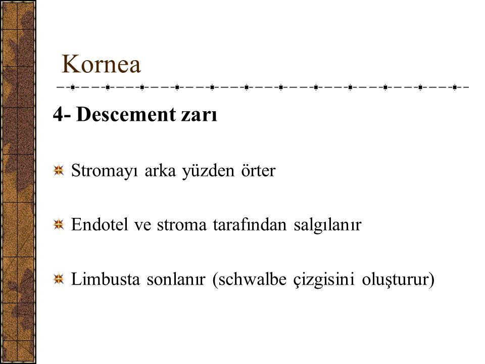 Kornea 4- Descement zarı Stromayı arka yüzden örter Endotel ve stroma tarafından salgılanır Limbusta sonlanır (schwalbe çizgisini oluşturur)