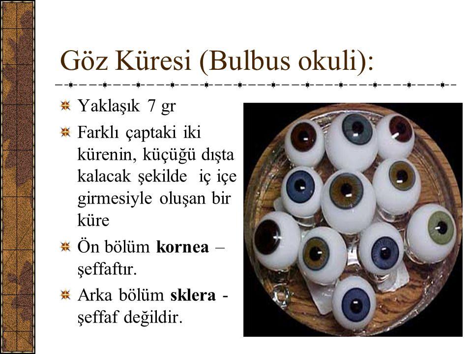 Göz Küresi (Bulbus okuli): Yaklaşık 7 gr Farklı çaptaki iki kürenin, küçüğü dışta kalacak şekilde iç içe girmesiyle oluşan bir küre Ön bölüm kornea – şeffaftır.