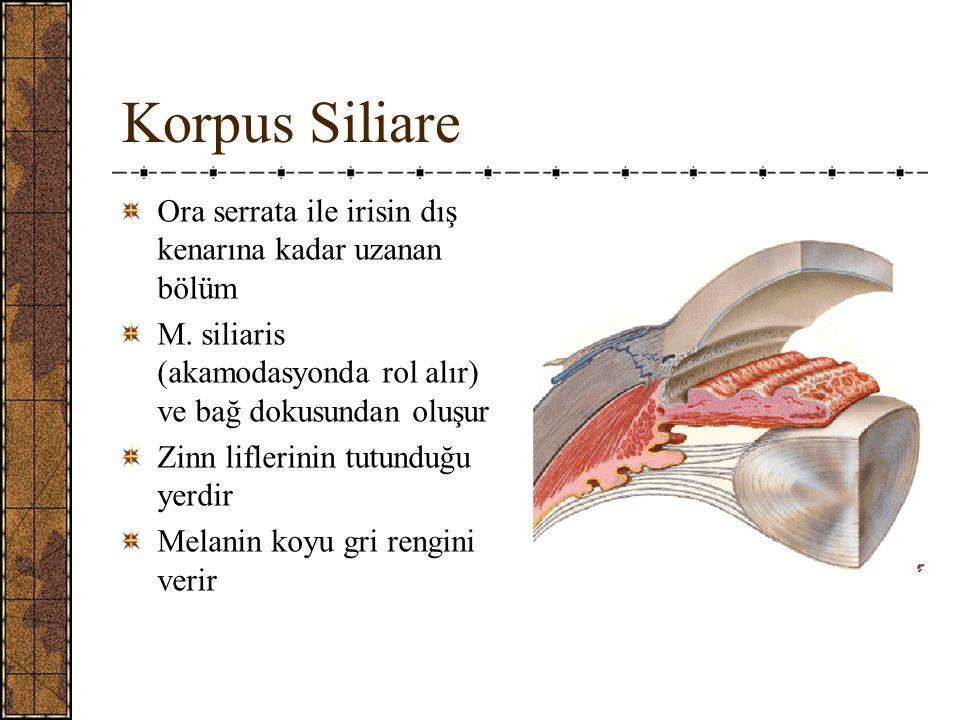 Korpus Siliare Ora serrata ile irisin dış kenarına kadar uzanan bölüm M.